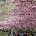 【2017武陵農場櫻花季】2/11展開,每日開放6千名遊客,把握機會預約吧!