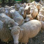 【南投清境農場】雲朵般羊毛,剪毛絕活不可錯過的可愛綿羊脫衣秀!