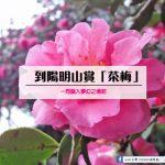 深秋的浪漫,ㄧ同去花卉試驗中心賞「茶梅」~踏入夢幻之境吧