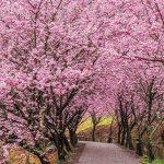 台灣櫻花祭,全台五個必去知名賞櫻地點大公開!